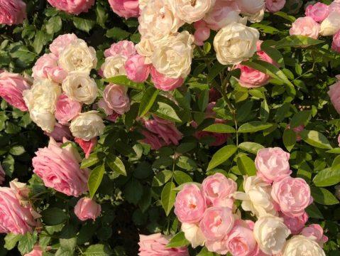 1りんに2色のバラ