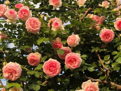 コーラルピンクのバラ