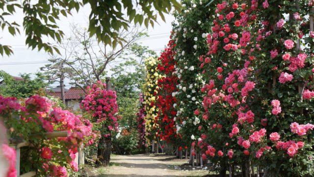 バラの通り道